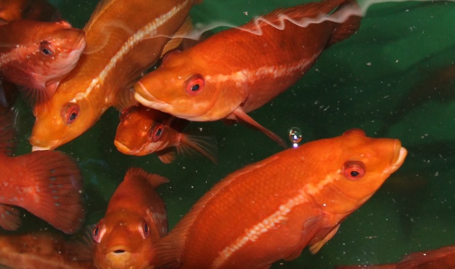 New project seeks to sharpen up cleaner fish vaccinations